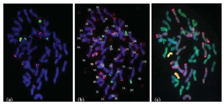Substitution (1D/1A) line, 2 n = 42 chromosomes. ( a ) FISH with 5S rDNA (red) and 35S rDNA (green); ( b ) FISH with pAs1 (red) and pSc 119.2 (green). The chromosomes were counterstained with 4′,6-diamidino-2-phenylindole (DAPI, blue); ( c ) mc GISH with total genomic <t>DNA</t> from rye—R genome (red), total genomic DNA from Triticum monococcum —A genome (green) and total genomic DNA from Aegilops <t>tauschii</t> —D genome (yellow) with blocking genomic DNA of Aegilops speltoides —B genome (DAPI, blue).