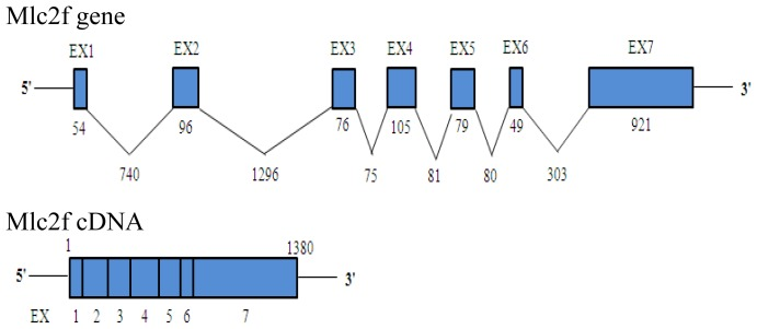 Schematic representation of the genomic organization of the Akmlc2f gene. The exon/intron structure is shown and the numbers indicate the length of exon/intron.