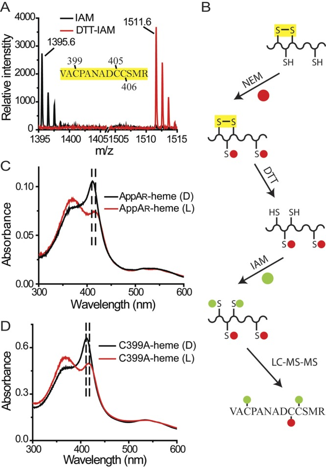 The disulfide bridge in the Cys-rich motif affects the SCHIC-heme interaction. (A) A disulfide bridge was identified within peptide AppA 397-409 . Under oxidized conditions, neither Cys 399 nor Cys 406 can be modified by iodoacetamide (IAM). Under reduced conditions, the disulfide bridge formed between Cys 399 and Cys 406 is reduced, and both residues can be modified by iodoacetamide (DTT-IAM). (B) LC-MS-MS with double-labeled AppA identified the Cys 399 -Cys 406 disulfide bond (see Fig. S2 in the supplemental material). (C) The cysteine residues in AppA are reduced by DTT (AppA R ). When light excited, the Soret peak of AppA R -heme is redshifted from 412 nm to 418 nm. (D) When light excited, the Soret peak of AppA C399A -heme is redshifted from 412 nm to 418 nm.
