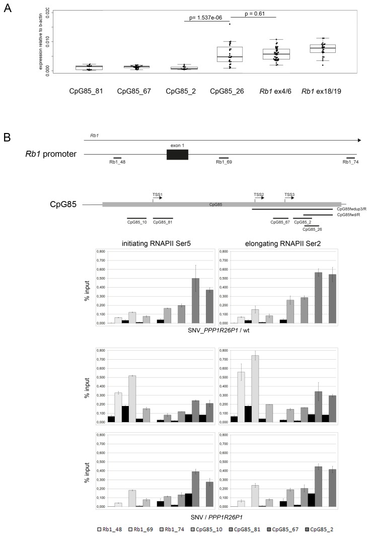 Transcription at CpG85. A) Expression of the transcript is elevated towards the 3'-end of CpG85. Quantitative RT-PCR with primer / probe assays (localization is shown in Figure 3B top) demonstrates significantly higher expression at the more 3'-end of CpG85. For comparison, expression of Rb1 is shown as measured with assays at exons 4/6 and exons 18/19. Analysis was conducted in six independent clones in two biological and two technical replicates, respectively. Expression levels are normalized to the level of β-actin. The p-value was calculated using the Welch two-sample test. B) RNA polymerase II (RNAPII) is enriched at the 3' end of CpG85. Presence of initiating and elongating RNAPII at the Rb1 and CpG85 promoters was tested for by ChIP. Top: schemes showing localization of primer / probe assays for qPCR over the Rb1 promoter (three assays) and CpG85 (four assays), as well as the mapped transcriptional start sites in CpG85. Results are depicted as % input and the non-related antibody (against PML protein) control is shown in black. Both types of RNAPII could be found at both promoters. Three independent experiments are shown, one in cells with genotype SNV_ PPP1R26P1 /wt and two in independent clones of genotype SNV / PPP1R26P1 .