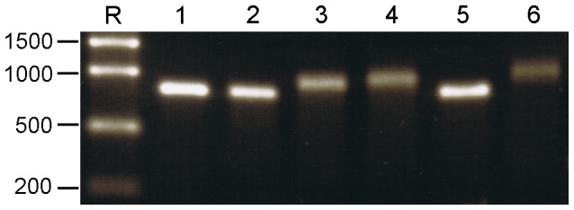eGFP ssRNA species produced in vitro . ssRNAs were synthesised from PCR-derived amplicons with a T7 Pol promoter introduced at the 5′ end to facilitate in vitro transcription. PCR amplicons were digested with Bsm BI to define the 3′ end of the transcription cassette. Templates, either 500 ng or 1 µg, were incubated with T7 Pol in the absence or presence of a cap analogue using MEGAscript® or <t>Mmessage</t> <t>Mmachine®.</t> Uncapped ssRNAs were purified and post-transcriptionally capped using ScriptCap™ m7G Capping System. ssRNA was polyadenylated using E. coli polyadenylation polymerase (ePAP) Ambion. Lane R: RiboRuler™ High Range; lanes 1–6: approximately 250 ng each of eGFP ssRNA; uncapped, post-capped, uncapped polyadenylated, post-capped polyadenylated, co-capped, co-capped polyadenylated, respectively. 1.5% TBE AGE 60 V for –90 min. The polyadenylated RNA bands are less sharp as the molecules differ in the numbers of A residues added at the 3′end.