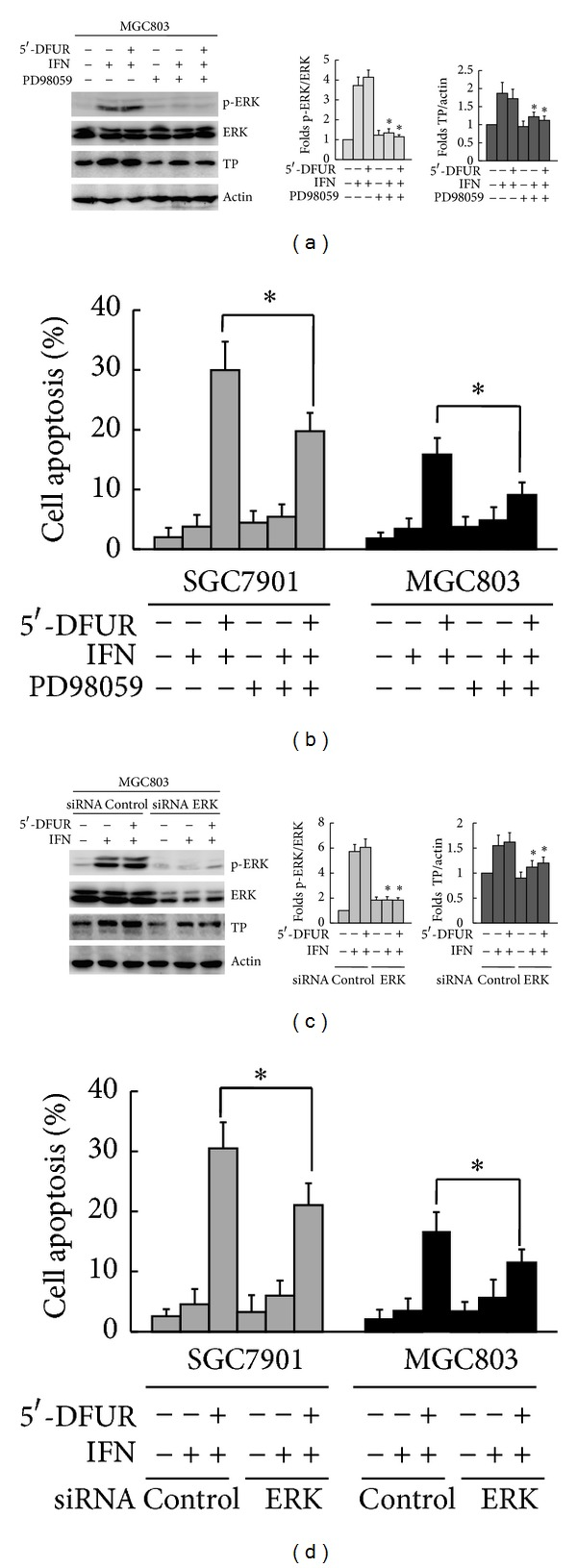 IFN- α upregulated the expression of TP partially by promoting ERK activation in gastric cancer cells. (a) MGC803 cells were preincubated with 20 μ mol/L ERK inhibitor PD98059 for 1 h followed by treatment with 1000 IU/mL of IFN- α or the combination of 1000 IU/mL IFN- α and 250 μ g/mL 5′-DFUR. Western blot analysis of the activated levels of ERK and the expression of TP. Data were means ± SD of three independent experiments. *Pretreated with PD98059 before IFN- α alone or IFN- α +5′-DFUR versus that untreated with PD98059 before IFN- α alone or IFN- α + 5′-DFUR, respectively, P