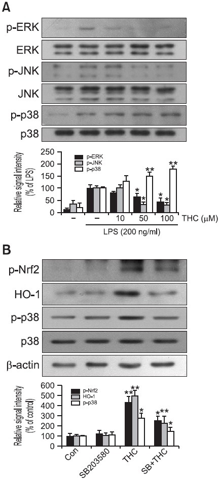 THC-induced Nrf2 phosphorylation was mediated by p-38 MAPK. BV2 microglial cells were stimulated with 200 ng/ml LPS in the absence or presence of THC. (A) Western blot analysis was then performed to evaluate the activation of MAP kinases signaling pathways (top: representative image, bottom: quantitative analysis). Phosphorylation of p38 was increased in a concentration-dependent manner, but phosphorylation of ERK and JNK was decreased with THC treatment, suggesting that p-38 might play an important role in the THC-induced Nrf2 phosphorylation. (B) BV2 microglia cells were pretreated with the p38 inhibitor, SB203580 (5 μM), for 1 hr prior to THC treatment. THC-induced Nrf2 phosphorylation was blocked via p38 inhibition (top: representative image, bottom: quantitative analysis), indicating that p38 is responsible for the THC-induced phosphorylation of Nrf2. β-Actin was used as an internal control. Images are representative of three independent experiments that shows similar results. Quantitative analysis was carried out using densitometric analysis. * p