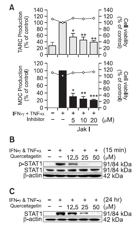 Effect of quercetagetin on STAT1 signal related with TARC and MDC expressions in IFN-γ- and TNF-α-stimulated HaCaT human keratinocytes. (A) HaCaT cells (5.0×10 5 cells/ml) were pre-incubated for 18 hr in unsupplemented culture medium. The cells were then stimulated with IFN-γ (10 ng/ml) and TNF-α (10 ng/ml) in the presence of Jak I (Jak1/2 inhibitor) with indicated concentrations for 24 hr. The measurements of TARC and MDC were determined from culture supernatant by the ELISA in triplicate. Error bars indicate ± S.D. * p