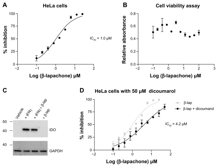 Inhibition of intracellular IDO1 activity by β-lapachone. ( A ) Dose-response assessment of increasing β-lapachone concentration on IDO1 activity in HeLa cells following 24 hrs of induction with IFNγ (100 ng/mL). Data are plotted as percent inhibition of kynurenine production with an IC 50 of 1.0 μM determined by nonlinear curve fitting. ( B ) SRB-based evaluation of viable cell numbers at the conclusion of the β-lapachone dose response assay shown in ( A ). (C) Western blot analysis of IDO1 protein in whole cell lysates from HeLa cells induced with IFNγ (100 ng/mL) and treated with β-lapachone (5 μM) as indicated. ( D ) β-lapachone dose-response assessment performed in parallel with ( A ) with the addition of the NQO1 inhibitor dicoumarol (50 μM). Data are plotted as percent inhibition of kynurenine production with an IC 50 of 4.2 μM determined by nonlinear curve fitting.
