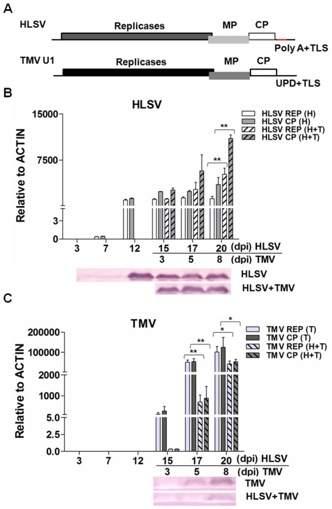 Genome organizations of HLSV and TMV and detection of viral RNA and protein levels in cross protection. ( A ) Genome organization of HLSV and TMV. Transcriptional level of HLSV ( B ) or TMV ( C ) gRNA/total viral RNA determined by quantitative real-time RT-PCR and translational level of CPs by western blot ( B and C ). Significant differences were calculated using the Student's t -test, * and ** indicate significance at the 0.05 and 0.01 levels of confidence, respectively.