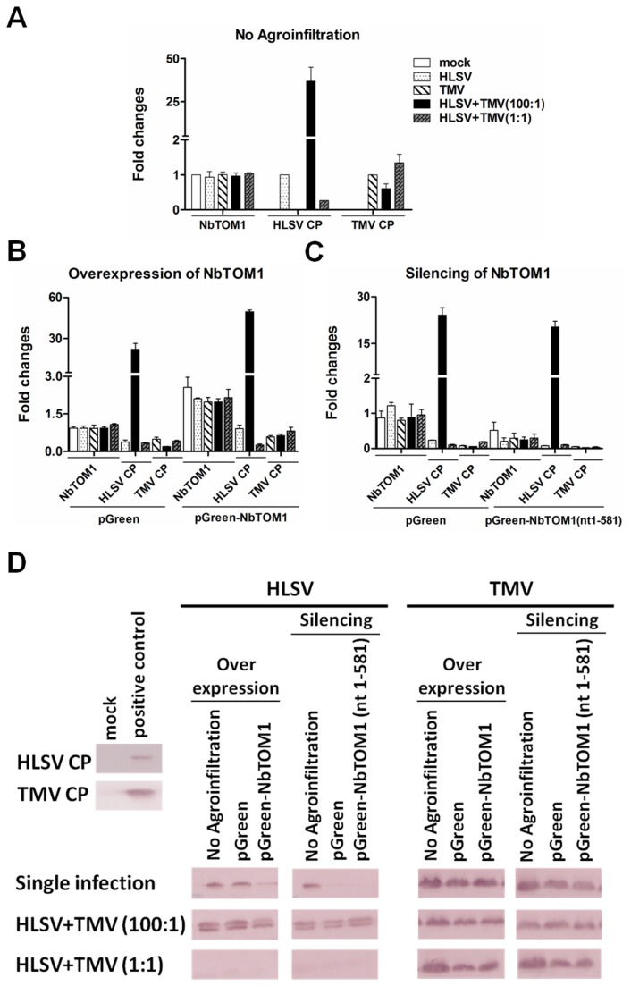 NbTOM1 transcript levels and virus accumulation with overexpression or silencing of NbTOM1 in Nicotiana benthamiana . (A) The transcriptional levels of NbTOM1 were detected in mock inoculation buffer, HLSV, TMV, HLSV+TMV (100:1) and HLSV+TMV (1:1) co-infected plants. The viral RNA levels of HLSV and TMV were determined using quantitative real-time RT-PCR with primer sequences corresponding to the coat protein genes in HLSV, or TMV or co-infected leaves. (B and C) The transcriptional levels of NbTOM1 were detected in NbTOM1 overexpressed or silenced leaves. The viral RNA levels were detected in plants first infiltrated with pGreen orpGreen- NbTOM1 (for overexpression), and pGreen or pGreen- NbTOM1 (nt1-581) (for silencing), followed by single virus (HLSV or TMV) infection or co-infection(HLSV+TMV) at 40 h post inoculation (hpi). (D) The coat proteins of HLSV and TMV were detected by western blot in NbTOM1 overexpressed or silenced leaves which were subsequently infected with single virus (HLSV or TMV) or co-infected with HLSV+TMV at 5 dpi (details see Materials Methods). Total protein from mock buffer inoculated N . benthamiana leaves was used as the negative control, while the total protein from HLSV or TMV infected leave samples which were confirmed earlier were used as positive controls.
