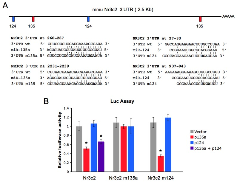 Nr3c2 reporter is regulated by miR-135a. (A) High probability miRNA target sequences in the mouse Nr3c2 3' UTR are drawn. Candidate miRNAs are predicted by microT v 3.0, TargetScan 5.2, and PicTar algoritms. Positions of mir-135a and miR-124 target sequences in the mouse annotated Nr3c2 3' UTR and details of miRNA/mRNA base pairing are indicated. Beneath miRNA sequences, nucleotides mutated at the level of miRNA binding sites in the mutant constructs Nr3c2 m135a (mutated at both miR-135a seed binding sites) and Nr3c2 m124 (mutated at both miR-124 seed binding sites), are indicated (nts in bold). (B) Nr3c2 luciferase reporter (Nr3c2), and mutant reporter constructs were co-transfected into Hela cells together with empty vector or miRNA expression vectors (p135a and p124). Luciferase activity was measured 24 hours post-transfection. Values are expressed relatively to the internal renilla luciferase activity and presented as percentage of the activity achieved in the presence of the empty control vector. Results are shown as means ± SE (n=6). ** P