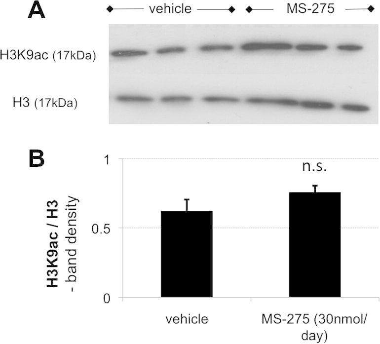 With the intrathecal delivery method used, HDACI did not appear to have a measurable effect on dorsal root ganglion (DRG) acetylation, suggesting that the mechanism of action was mostly central. (A) Representative Western blot of single rat L5 DRG after nerve transection and intrathecal vehicle or HDACi treatment. Total H3 was used as a loading control for acetylated H3K9. (B) Quantification of global <t>H3K9ac</t> revealed no difference between vehicle and HDACI treatment groups ( n = 4, P = not significant [n.s.]).