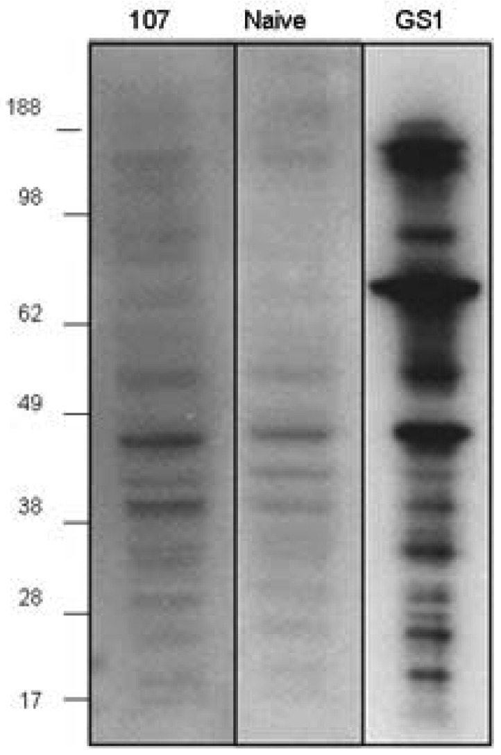 Serum IgM antibodies and GS-I binding to 4T1 cell lysate. Whole-cell lysate from 4T1 cell line was prepared. Mice (5/group) were pre-bled and immunized with peptide 107 on days 0 and 14. Sera were collected 7 days after the peptide boost and pooled for each group. Western blot analysis: Sera were diluted 1:1000 for the western. Anti mouse IgM used as secondary antibody. Binding with biotin-conjugated GS-I was followed by streptavidin-HRP.
