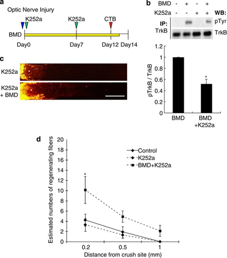 Brimonidine promotes optic nerve regeneration after the application of a Trk inhibitor. ( a ) Schematic representation of the experimental protocol used for intravitreous injection and optic nerve injury. ( b ) Western blot analyses showing the phosphorylation levels of TrkB in retinal extracts prepared from injured mice treated with brimonidine with or without a pan Trk inhibitor, K252a. Anti-TrkB antibodies were used to immunoprecipitate TrkB, and the level of TrkB phosphorylation was determined using anti-phospho-Tyr antibodies. N =3. * P