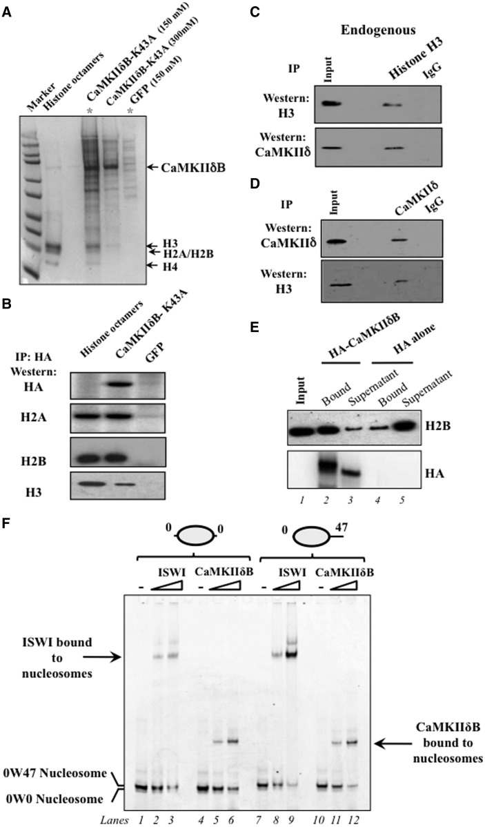 CaMKIIδB binds to cardiac chromatin in vitro and in primary cardiomyocytes. ( A ) Coomassie staining of proteins that interact with inactive HA-tagged CaMKIIδB-K43A in cardiac cells, after immunoprecipitation of nuclear extracts using HA agarose affinity gels and analysis by SDS–PAGE. Arrows indicate CaMKIIδB and the histone proteins later identified by mass spectrometry that co-migrate with purified histone octamers. Asterisks show immunoprecipitated proteins at 150 mM salt concentration in cells expressing CaMKIIδB-K43A or GFP. ( B ) Western blot analysis showing interaction of CaMKIIδB-K43A with histone proteins after immunoprecipitation with HA affinity gels ( n = 3). Purified histone octamers were run in parallel as a positive control. ( C ) Interaction of endogenous histone proteins with endogenous CaMKIIδB shown after immunoprecipitation of cardiac nuclear extracts with α-H3 or control IgG antibodies and immunoblotting using a CaMKIIδ-specific antibody. ( D ) Reverse experiment where CaMKIIδ was immunoprecipitated first with anti-CaMKIIδ antibody, and the precipitated proteins were analyzed by SDS–PAGE and immunoblotted with α-H3-specific antibody. Blots in C and D are representative of two independent experiments. ( E ) Western blot analysis showing the fraction of cardio-chromatin that binds to CaMKIIδB attached to HA agarose or that remains in the supernatant ( n = 4). Immunoblotting with anti-H2B and -HA antibodies from 1: input chromatin, 2: chromatin bound to HA-CaMKIIδB, 3: chromatin remaining in the supernatant not bound to HA-CaMKIIδB, 4: chromatin bound to HA beads alone, 5: chromatin remaining in the supernatant not attached to HA beads. ( F ) Representative EMSA with increasing concentration of purified CaMKIIδB and 0W0 or 0W47 mononucleosome templates followed by native PAGE, n = 3. Arrows indicates the position of ISWI or CaMKIIδB bound to mononucleosomes.