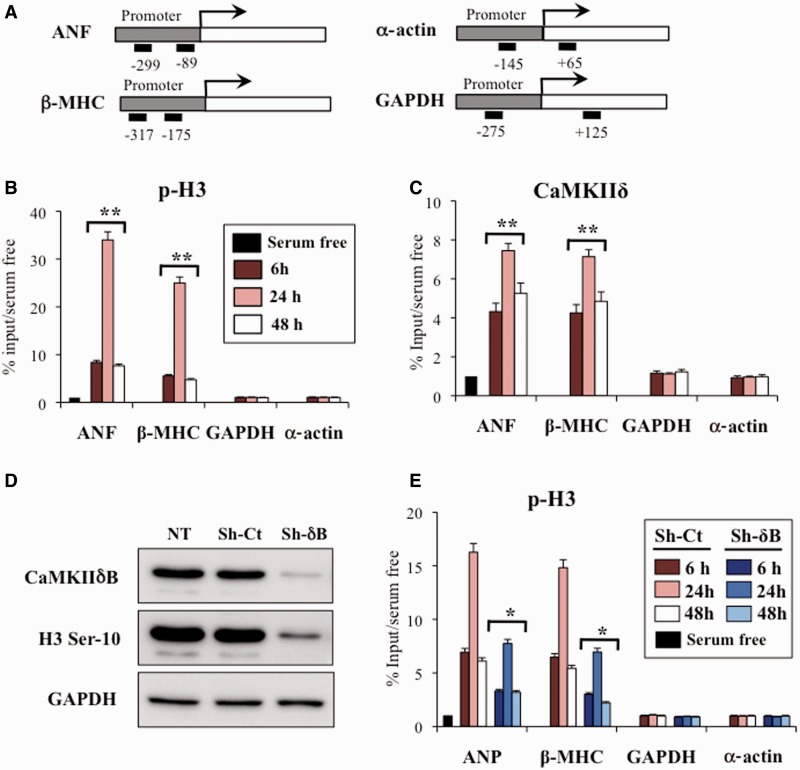 Increased histone H3 Ser-10 and CaMKIIδB recruitment at fetal-cardiac promoters during hypertrophic stimulation. ( A ) Primers used for the amplification of hypertrophic genes after ChIP from primary cardiomyocytes stimulated with PE. Primer sets are specific for the ANF, β-MHC, α-cardiac actin and GAPDH genes. Black boxes represent the position of the primers relative to the start of transcription. ChIP–Q-PCR assay using ( B ) α-histone H3 Ser-10 or ( C ) CaMKIIδ antibodies to precipitate chromatin from primary neonatal rat cardiomyocytes maintained in serum-free conditions or treated with PE for 6, 24 and 24 h. Results are expressed as % input over basal condition (serum-free treatment). Error bars represent means ± SD ( n = 3). ** P
