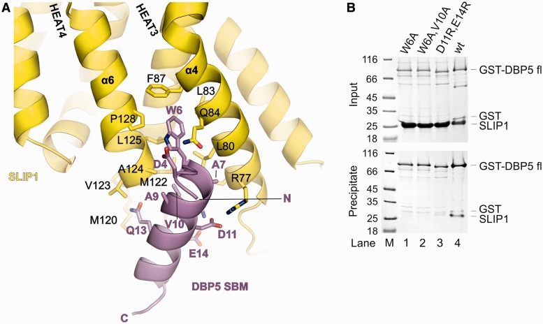 Structure of SLIP1 bound to the SBM of DBP5. ( A ) Close-up view of the interactions between SLIP1 (in yellow) and the SBM of DBP5 (in violet). The molecules are in a similar orientation as in Figure 2 A. Selected residues are shown in stick representation and labeled. ( B ) Protein co-precipitations by GST pull-down assays. GST-tagged human DBP5 wild type or mutants were incubated with SLIP1 in a buffer containing 100 mM NaCl. One-sixth of the sample was kept as input control (upper panel), and the rest was co-precipitated with glutathione sepharose beads (lower panel). Both input and pull-down samples were analyzed on Coomassie stained 15% SDS PAGE. The lane on the left shows a molecular weight marker.