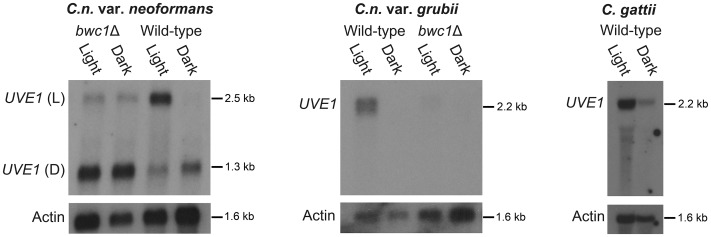 UVE1 is a Bwc1-regulated gene in Cryptococcus . Northern blots of C. n. var. neoformans , C. n. var. grubii and C. gattii . From left to right, panel 1 is for JEC21 (WT) and AI5 ( bwc1 ); the upper band is for UVE1 light (L) isoform and the lower band is for UVE1 dark (D) isoform. Panel 2 is for KN99α (WT) and AI81 ( bwc1 ), panel 3 is for R265 (WT). All experiments were either 23 h dark+1 h light, (Light) or 24 h constant darkness (Dark). Blots were stripped and reprobed with actin as a loading control.