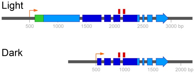 Two mRNA isoforms of UVE1 are produced in C. neoformans var. neoformans . Boxes indicate coding regions, with the long light-induced isoform encoding a 660 amino acid residue protein and the shorter dark-expressed isoform encoding a 291 amino acid residue protein. Dark blue encompasses the pfam03851 domain that represents the conserved and active site of the endonuclease. The position of the 70 mer probe used in the C. neoformans microarray, which spans two exons common to both isoforms, is indicated above this region. The green region encodes the predicted mitochondrial localization signal. The orange arrows indicate the start of the UVE1 light and dark transcripts.