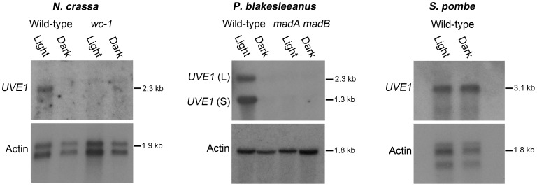 Light regulation of UVE1 homologs through the White Collar complex is conserved in fungi. Northern blots for UVE1 homologs from N. crassa [FGSC 4200 (WT), FGSC 4398 ( wc-1 )], P. blakesleeanus [NRRL1555 (WT), L51 ( madA madB )], and S. pombe [L972 (WT)]. All experiments were 1 h light exposure (Light) or constant darkness (Dark). Blots were stripped and reprobed with actin as a loading control. For clarity, the gene name UVE1 is used to refer to all homologs ( mus-18 N. crassa ; uvdE P. blakesleeanus ; uve1 S. pombe ).