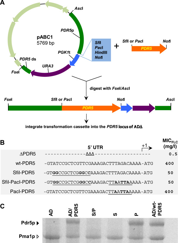The Sfi I restriction enzyme cloning site severely inhibits gene expression in yeast. A. A schematic diagram of the cloning strategy used to over-express heterologous ORFs in S. cerevisiae . PDR5 (orange) was cloned as Sfi I/ Not I or Pac I/ Not I fragments into pABC1 (the pBluescriptIISK(+) vector backbone is light green and the multiple cloning site of the transformation cassette light blue). pABC1-PDR5 was digested with Fse I and Asc I to release the 7.4 kb transformation cassette [ PDR5 promoter (green)-ORF (orange)- PGK1 terminator (blue)- URA3 marker (purple)- PDR5 downstream region (green)]. The transformation cassettes were gel purified and used to transform S. cerevisiae AD to Ura + . B. Effect of 5′ UTR on Pdr5p activity. Strains expressing Pdr5p were created either using pABC1 (SfiI-PDR5, SfiI-PacI-PDR5) or pABC3 (PacI-PDR5), as previously described [ 14 ], and ∆PDR5 (AD) and wt-PDR5 (AD124567u - ) were used as negative (0% Pdr5p expression) and positive (100% Pdr5p expression) controls, respectively. The 32 nucleotides upstream of the ATG start-codon for each construct are shown. Sfi I and Pac I restriction sites are underlined and the nucleotides that differ from the wild-type PDR5 5′ UTR are shown in bold type. The right hand column lists the MIC FLC values for the strains. The MIC FLC values for three independent transformants were measured and did not vary by more than one dilution. C. SDS-PAGE of plasma membrane proteins (30 μg) isolated from the strains listed in B including AD/PDR5 (this strain is AD with its wild-type PDR5 locus restored). The black arrowhead indicates Pdr5p and the white arrowhead indicates the prominent plasma membrane proton pump protein Pma1p. SP = AD/SP-PDR5-URA3; S = AD/S-PDR5-URA3; P = AD/P-PDR5-URA3.