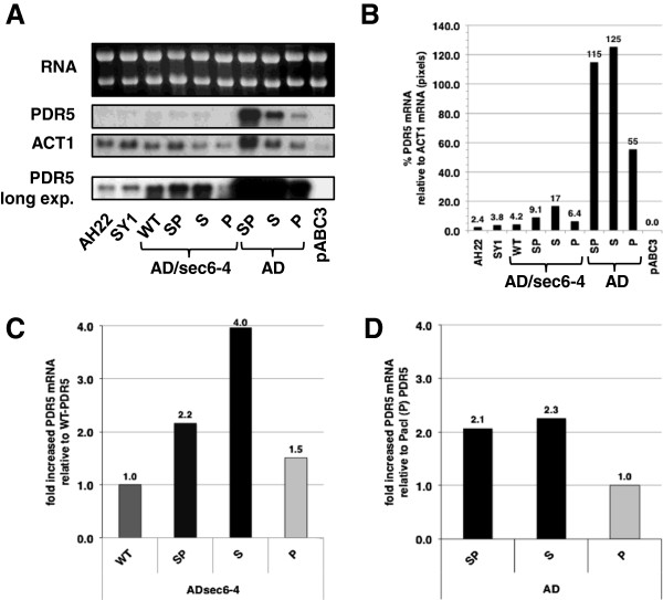 The <t>Sfi</t> I-site in the 5′ UTR near the AUG start codon increases the levels of PDR5 mRNA. Northern blot analysis was performed on late-logarithmically grown AD and AD/sec6-4 cells that expressed PDR5 with differently modified 5′ UTRs (WT = unmodified; strains labeled SP, S or P contained the SfiI/PacI, the SfiI or the PacI site, respectively). AD strains contained the PGK1 terminator and the URA3 marker at the 3′ end of PDR5 while AD/sec6-4 strains contained the 3′ UTR of PDR5 . Three control strains were included: two wild-type PDR5 expressing strains (AH22 and SY1) and AD/pABC3 as the negative (∆PDR5 ) control. A Upper panel - 10 μg total RNA extracts separated on a 1.2% denaturing agarose gel and stained with EtBr (top), lower panels - autoradiographs of blots probed with PDR5 and ACT1 . The band intensities for the top two PDR5 and ACT1 panels can be directly compared as they experienced the same treatment ( PDR5 and ACT1 probes were combined for the hybridization with the Northern blot) while the autoradiograph at the bottom was overexposed so that PDR5 bands of weaker intensities could be measured accurately. B , C , and D show the intensities of bands in panel A quantified with the ImageJ software program [ 30 ]. B shows the expression of PDR5 relative to the expression of the housekeeping gene ACT1 that was used as an internal standard (the intensities for ACT1 in AD/SP-PDR5 were ~10-times higher than in AD/pABC3 while ACT1 varied no more than +/− 50% in the remaining samples). C and D show the -fold differences in normalized PDR5 mRNA levels relative to AD/sec6-4/PDR5 (C) and AD/P-PDR5 (D) , respectively (the results for the Sfi I-site containing strains are shown with black bars, for wt-PDR5 with dark grey and Pac I-site containing strains with light grey bars). The numbers above individual bars in B , C , and D give the actual values represented by the bars.