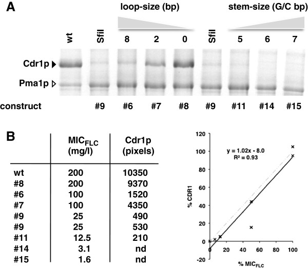 Drug resistance levels (MIC FLC ) of Cdr1p-expressing strains are directly proportional to the amount of Cdr1p expressed. A. SDS-PAGE of plasma membrane proteins (30 μg) isolated from AD∆ strains containing different Sfi I stem-loop constructs. The black arrowhead indicates Cdr1p and the white arrowhead indicates the prominent plasma membrane proton pump protein Pma1p. wt = AD∆/P-CDR1-URA3; SfiI = AD∆/construct9-CDR1; lanes labeled 8, 2 and 0 represent Cdr1p expressing strains with decreasing loop-size of 8 nucleotides (AD∆/construct6-CDR1), 2 nucleotides (AD∆/construct7-CDR1) or no loop at all (AD∆/construct8-CDR1); lanes labeled 5, 6 and 7 represent strains with increasing stem-size of 5 GC-pairs (AD∆/construct11-CDR1), 6 GC-pairs (AD∆/construct14-CDR1) and 7 GC-pairs (AD∆/construct15-CDR1). B. The MIC FLC values for each construct correlated well with the amounts of Cdr1p expressed (measured as pixels using the ImageJ software [ 30 ]). %CDR1 (Y-axis) and %MIC FLC (X-axis) are the expression levels and MIC FLC relative to wt Cdr1p. To the right is a graphical illustration of this correlation (constructs #14 and #15 were excluded from the graph because their Cdr1p expression was below the detection limit but the MIC FLC = 0.5 of the negative control strain AD (no Cdr1p) was included), and the dashed grey line shows the theoretical trend line expected for a direct linear correlation between MIC FLC values and the amounts of Cdr1p expressed.