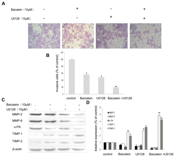 Effects of the ERK inhibitor (U0126) and baicalein on cell invasion and MMP-2, MMP-9, u-PA, TIMP-1 and TIMP-2 expression in MHCC97H cells. (A) Cells were pretreated with U0126 (10 μM) for 30 min and then incubated in the presence or absence of baicalein (10 μM) for 24 h. Cellular invasiveness was measured using the Boyden chamber invasion assay. (B) The percent invasion rate was expressed as a percentage of control. (C, D) MHCC97H cells were treated and then subjected to western blotting to analyze the protein levels of MMP-2, MMP-9, u-PA, TIMP-1 and TIMP-2. Values represent the means ± SD of three independent experiments performed in triplicate. * p