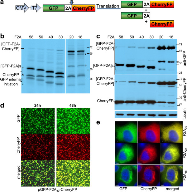 Efficiency of F2A cleavage in GFP-F2A-CherryFP context. F2A sequences of various lengths were used to co-express GFP and CherryFP proteins from pGFP-F2A-CherryFP constructs ( a , schematic presentation) in vitro using TnT coupled transcription/ translation rabbit reticulocyte lysates (b) and transfected HeLa cells (c) . For TnT , reticulocyte lysates were programmed with 20 ng of plasmid DNA and translation products were resolved by the 12% SDS-PAGE. For in vivo studies, HeLa cells were transfected with 1.5 μg of plasmid DNA and harvested 30 h post transfection. Cells were lysed in RIPA buffer and equal amounts of total protein for each transfection were loaded onto 12% SDS-PAGE gel. The proteins were transferred onto a nitrocellulose membrane, blocked in PBST containing 5% milk and probed with anti-GFP (upper blot) and anti-CherryFP (lower blot) antibodies overnight at 4°C. Detection of bound primary antibody was achieved by using respective secondary antibodies, followed by ECL detection. (d) Expression of fluorescent proteins was detected in transfected HeLa cells at 24 h and 48 h post transfection in Evos microscope using 4 × objective. (e) Cellular co-localisation of [GFP-F2A] and CherryFP 30 h post-transfection. HeLa cells pre-plated on cover slips were transfected with 0.5 μg of plasmid DNA and incubated for 30 h, fixed with 100% methanol and mounted using VECTASHIELD mounting medium with DAPI. The images were acquired with Deltavision microscope using 100 × objective using Resolve 3D software. All experiments were done in triplicates.