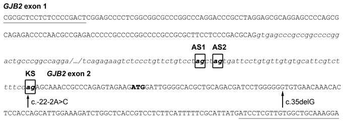 Sequence of the exon-intron junctions of the single GJB2 intron. Exonic sequence is shown in capitals, whereas intronic sequence is shown in lowercase italics. The three acceptor splice sites identified in this work appear boxed in bold: KS, known acceptor site; AS1, alternative site 1; AS2, alternative site 2. The ATG start codon appears in bold. Nucleotides affected by the c. -22-2A > C and c.35delG mutations are indicated by arrows. Locations of the primers used for identifying GJB2 splicing products are underlined.