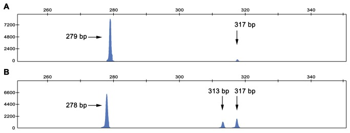 Analysis of GJB2 splicing products. Splicing products from transcription of GJB2 were amplified in a fluorescent RT-PCR assay performed with total RNA extracted from saliva samples and were separated by capillary electrophoresis. A GJB2 splicing products from a normal-hearing control (genotype wt/wt). B GJB2 splicing products from c. -22-2A > C/c.35delG compound heterozygous subject II:4.