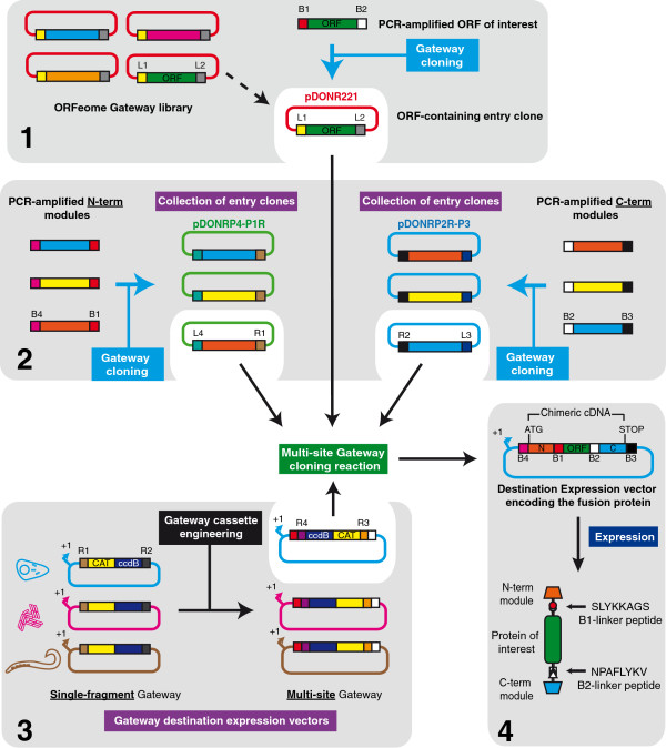Strategy for the cloning of fusion proteins. Cloning is based on the Multi-site Gateway kit from Invitrogen. The plasmid encoding the ORF of interest can either be an existing entry clone from a Gateway-based ORFeome library, or can be constructed by Gateway-cloning the PCR-amplified ORF into pDONR221 with BP clonase (panel 1) . A collection of entry clones encoding the functional modules to be attached to the ORF of interest is constructed similarly by Gateway cloning the PCR-amplified modules into the pDONR P4-P1R (N-term modules) and pDONR P2RP3 (C-term modules) plasmids from the MultiSite Gateway kit ( panel 2 , see main text for details). All of the inserts in the entry vectors are flanked by appropriate att sites provided by the PCR-amplification primers, and are indicated throughout this figure with a key (e.g. the attB1 site is indicated as B1 ). Single-fragment Gateway destination expression vectors designed for expression in different model systems are adapted by engineering of the Gateway cassette to allow MultiSite Gateway cloning reactions (panel 3) . Such reactions involve one adapted destination vector, as well as the plasmids encoding the ORF of interest and the chosen N-term and C-term modules (white background), whose matching att sites (R4xL4, R1xL1, L2xR2, L3xR3) recombine to produce a destination expression vector encoding the fusion protein in the form of a chimeric cDNA (panel 4) . Expression of the cDNA results in the production of a fusion protein whose three constituent parts are linked by short peptides resulting from the translation of the attB1 and attB2 sites remaining after the LR recombination (panel 4, see main text for details).