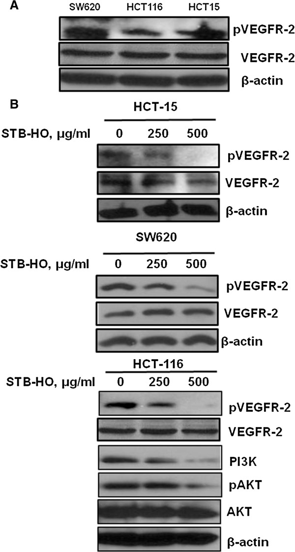 Effect of STB-HO on pVEGFR2, PI3K and Akt in colon cancer cells. (A) Basal expression of pVEGFR2 was confirmed in various colon cancer cells by Western blotting. (B) STB-HO (0, 250 or 500 μg/ml) was treated in HCT15, SW620 and HCT116 colon cancer cells for 24 h. Western blotting was performed to determine the expression of pVEGFR2, VEGFR2, PI3K, pAKT, AKT and β-actin in STB-HO treated colon cancer cells.