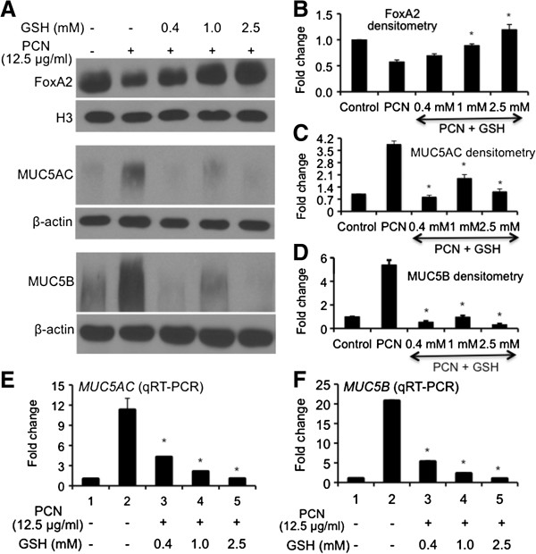 Restoration of FOXA2 expression by GSH attenuates PCN-mediated overexpression of MUC5AC and MUC5B mucins. (A-D) GSH treatment restores the expression of FOXA2 and attenuates the expression of MUC5AC and MUC5B mucins. NCI-H292 cells with or without GSH pretreatment were exposed to PCN (12.5 μg/ml) or sterile water (control) for 24 hr. Nuclear proteins were harvested for Western blots using anti-FOXA2 whereas total protein was probed with anti-MUC5AC or MUC5B antibodies (A) and quantified with densitometry (B-D) . The same membranes were stripped and probed with antibody nuclear protein Histone H3 for loading control for FOXA2 and β-actin as loading control for MUC5AC and MUC5B. The experiments were independently repeated three times. Densitometry data represent the mean ± SD from three experiments. * p