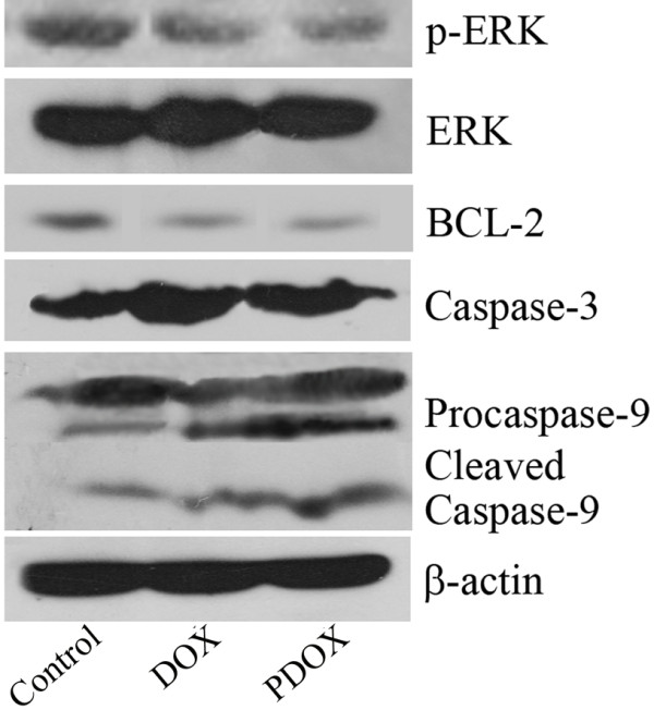 Western blotting showed that compared with Control, PDOX and DOX reduced ERK phosphorylation, decreased BCL-2 expression, and increased caspase-3 and <t>caspase-9</t> activation.