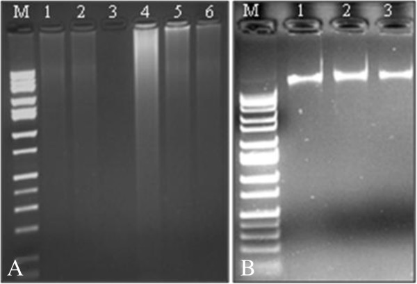 Genomic DNA extraction from dry papaya seeds. A) Using six different techniques (Lane 1: DNeasy Plant Mini kit; 2: TRIzol; 3: Blank; 4: 'Normal' CTAB; 5: QIAcube; 6: Promega Maxwell 16). B) Using modified CTAB extraction procedure (Lane 1: 'Rainbow'; 2: 'SunUp'; 3: 'Waimanalo'). M: 1 kb DNA ladder (Fisher Scientific).