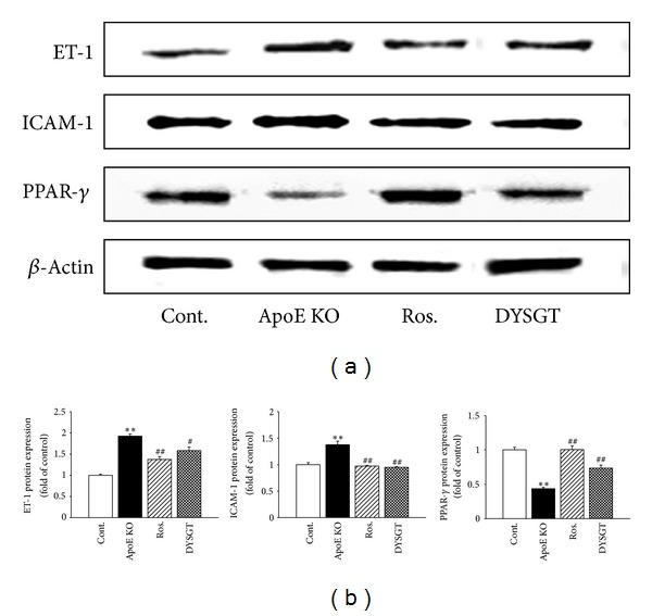 Effect of DYSGT on ET-1, <t>ICAM-1,</t> and PPAR- γ protein expression in the aorta of ApoE KO mice. Western blots and corresponding densitometric analyses of ET-1, ICAM-1, and PPAR- γ in aortic tissue. Values are expressed as mean ± S.E. ( n = 4); ** P