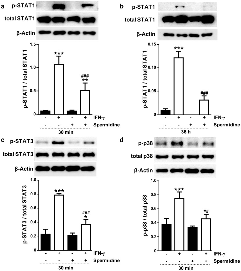 Effects of spermidine treatment on the phosphorylation levels of signal transducers and activators of transcription (STATs) and p38 mitogen-activated protein kinase (MAPK) in interferon-gamma (IFN-γ)-treated THP-1 cells. Representative Western blots and densitometry (n = 3) show phosphorylation status of ( a and b ) STAT1, ( c ) STAT3 and ( d ) p38 MAPK in THP-1 cells treated with IFN-γ (1000 U/ml) and/or spermidine (100 µM) for ( a , c , and d ) 30 min or ( b ) 36 h. Blots were probed for β-actin to show equal protein loading. Significant differences compared to untreated cells (* = p