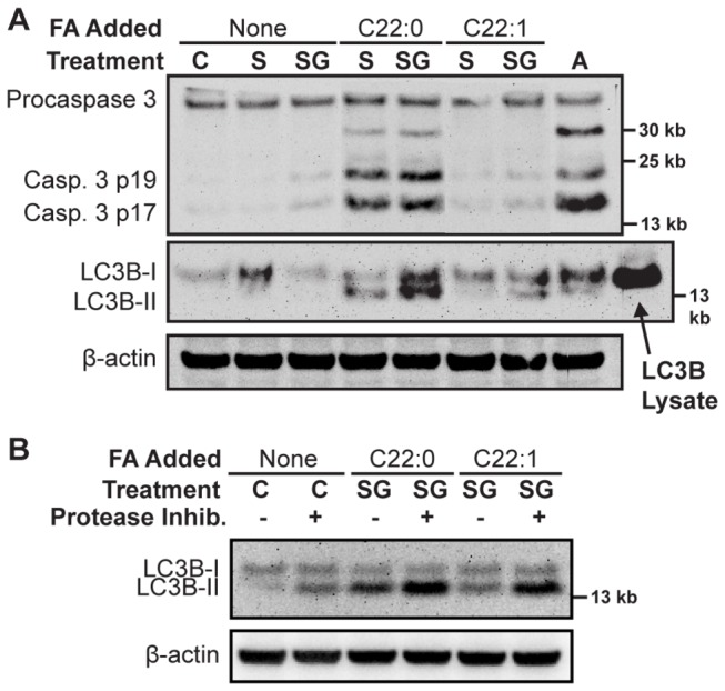 Caspase cleavage and LC3B-I/II turnover. A ) CCRF-CEM cells treated with drug/fatty acid vehicle (C), sphinganine (1 µM, S), or sphinganine (1 µM) + GT-11 (0.5 µM) (SG), were supplemented with the indicated fatty acids (5 µM). After 12 hours, total proteins were extracted and procaspase-3 (35 kb), activated caspase-3 (17/19 kb), and LCB3-I/II (14/16 kb), were detected by immunoblotting. β-Actin served as loading control. Treatment with pan-Bcl-2 inhibitor, ABT-737 (1 µM, A), and LC3B-transfected, <t>HEK-293</t> cell lysate, were used as positive controls. C22:1-fatty acid was used as a negative control for C22:0-fatty acid. Lanes rearranged to ease interpretation. Data representative of three separate experiments are shown. B ) Assessment of LC3B-II flux. CCRF-CEM cells were pretreated with or without protease inhibitors (Pepstatin-A and E64d) and treated as described. After 12 hours, total proteins were extracted and LC3B-I/II analyzed by immunoblotting. Data representative of three separate experiments are shown, except for C22:1-fatty acid.