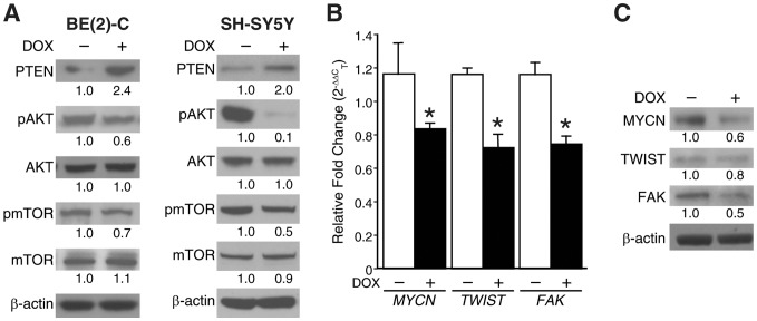 GRP silencing on PTEN/AKT/mTOR signaling and MYCN, TWIST, FAK. (A) BE(2)-C/Tet/shGRP (+DOX) cells and SH-SY5Y/Tet/shGRP (+DOX) cells had an increase in PTEN expression along with correlative decreases in pAKT and pmTOR expression when compared to control cells (without doxycycline; -DOX). (B) Doxycycline-induced GRP silencing in BE (2)-C/Tet/shGRP cells decreased the mRNA levels of MYCN , TWIST and FAK by ∼50–60% as assessed by QRT-PCR (mean ± SEM; * = p