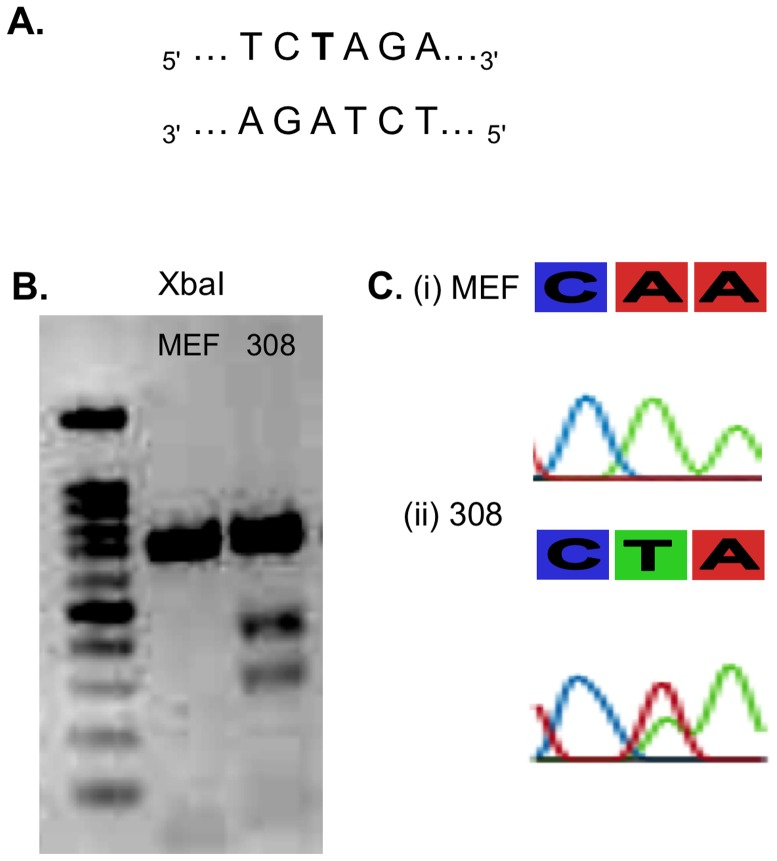 Point mutation in Hras gene in DMBA/TPA treated cells. ( A ) The A > T substitution causes the appearance of XbaI consensus site ( B ) XbaI digestion of Hras in MEF (left lane) and 308 cells (right lane). Two restriction fragments of 300 and 400 bp emerge in mutated Hras resulting from cleavage of full length 700 bp replicon in the newly formed XbaI restriction site. ( C ) Sequencing of Hras codon 61 reveals A > T transversion in of 308 cell line which is derived from early DMBA/TPA induced papillomas (ii). Mouse embryonic fibroblasts (MEFs) hold the typical A allele (i) .
