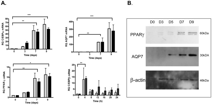 Expression of C/EBPα/β, PPARγ and aquaporin 7 (AQP7) during differentiation of 3T3-L1 cells by XDI and/or PDI cocktail. A. Quantification of mRNA expression levels of crucial transcription factors, C/EBPα/β, PPARγ and AQP7 a PPARγ target, at the indicated times of differentiation in mouse 3T3-L1 adipocytes. Cells were induced to differentiate with XDI (shaded) or PDI (black) hormonal cocktail. C/EBPα, PPARγ and AQP7 mRNA expression levels were measured by qPCR during TD till day 9. cEBPβ mRNA expression levels were measured during MCE. Data were analyzed using repeated measure of ANOVA and by Tukey's comparison tests. *p