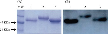 Extraction of native flagellins from Salmonella enterica strains. Protein samples were sorted in polyacrylamide gels were stained with Comassie Blue (A) orcon in Western blots (B) with anti-flagellin antibodies. Samples: MW- molecular weight markers; lane 1: FliC i flagellin harvested from S . Typhimurium; lane 2: FljB flagellin harvested from S . Typhimurium; lane 3: FliC d flagellin harvested from S . Dublin SL5930 strain.