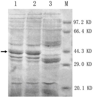 SDS-PAGE analysis of the recombinant xylanases produced by E.coli BL21 .lanes 1 and 2: recombined proteins: XYNA1 and XYNB, respectively; Lane3: pET32a host; M: Standard protein molecular weight. The protein gels were stained with Coomasie Brilliant Blue R250; →: interest proteins