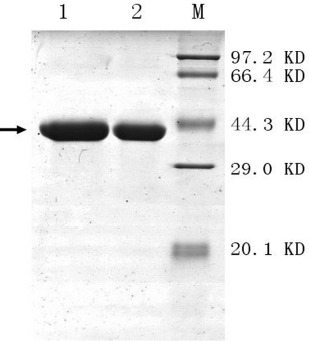 SDS-PAGE analysis of the purified xylanases obtained from E.coli <t>BL21.</t> Lane 1: 100 mM imidazole wash of the recombined protein XYNB to Ni-nitrilotriacetic acid resin; Lane2: 100 mM imidazole wash of the recombined protein XYNA1 to Ni-nitrilotriacetic acid resin; M: Standard protein molecular weight. The protein gels were stained with Coomasie Brilliant Blue R250. →:interest proteins