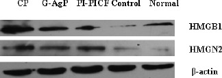 Representative Western blotting images for HMGB1 and HMGN2 expression in GCF from CP, G-AgP and control groups and in PICF in PI and normal group. β-actin served as the loading control.