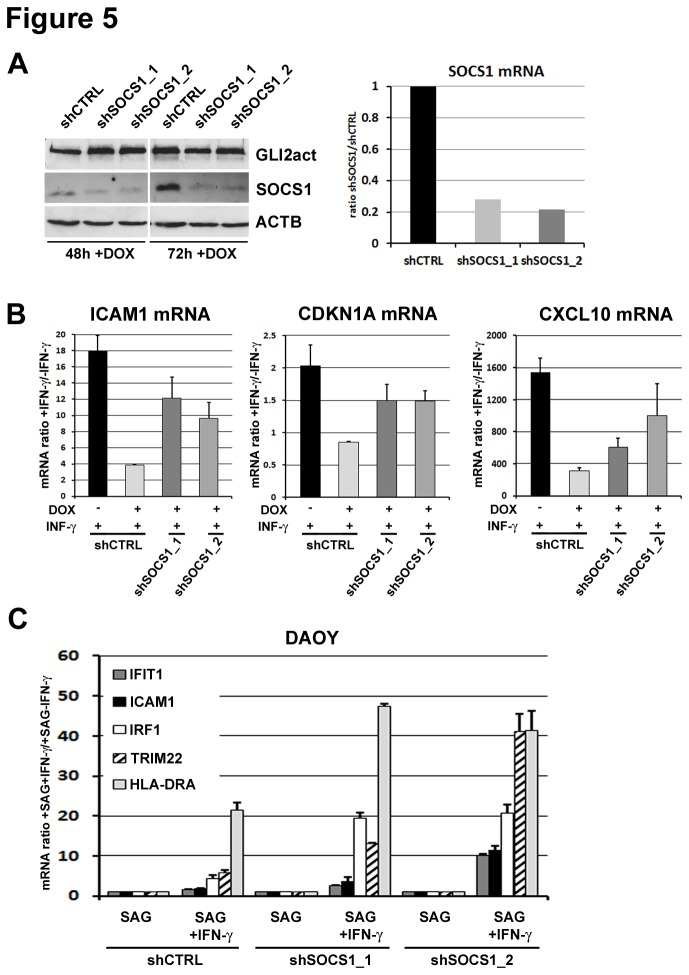 SOCS1 knock down restores IFN-у/STAT1 signaling in cells with activated Hh signaling. A ) Western blot analysis of SOCS1, GLI2, and ACTB in GLI2act-HaCaT cells transduced with two shRNAs directed against human SOCS1 (shSOCS1_1, shSOCS1_2) and control shRNA (shCTRL) expressing GLI2 for the time indicated (left panel). SOCS1 mRNA levels were also analyzed by qRT-PCR in cells expressing GLI2 for 48h. B ) qRT-PCR of IFN-у target genes (CXCL10, CDKN1A, and ICAM1) measured in GLI2act-HaCaT cells after expressing GLI2 for 48h (+ DOX) with subsequent exposure to 1ng/ml recombinant IFN-у for 6h. C ) qRT-PCR of IFN-у target gene activation (HLA-DRA, ICAM1, IFIT1, TRIM22 and IRF1) in DAOY cell lines stably expressing either shSOCS1_1 and shSOCS1_2 or unspecific control shRNA (shCTRL). Cells were pretreated with 200 nM SAG for 120h to activate the Hh pathway and subsequently incubated with 1ng/ml recombinant IFN-у for 6h. mRNA levels are shown as ratio of IFN-у treated to untreated samples. Data are given as mean ± SD of biological triplicates.