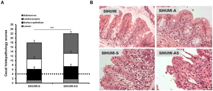 Concomitant presence of A. muciniphila and S. Typhimurium results in increased histopathology scores in SIHUMI mice. (A) Gnotobiotic C3H mice containing 8 defined microbial species (SIHUMI) were subsequently inoculated with A. muciniphila or S. Typhimurium or consecutively with both organisms (see Figure 1 ). SIHUMI and SIHUMI-A mice had the lowest histopathology scores (≤4.0) with no signs of inflammation and were therefore taken as baseline (dotted line). Data are expressed as median with range. *P