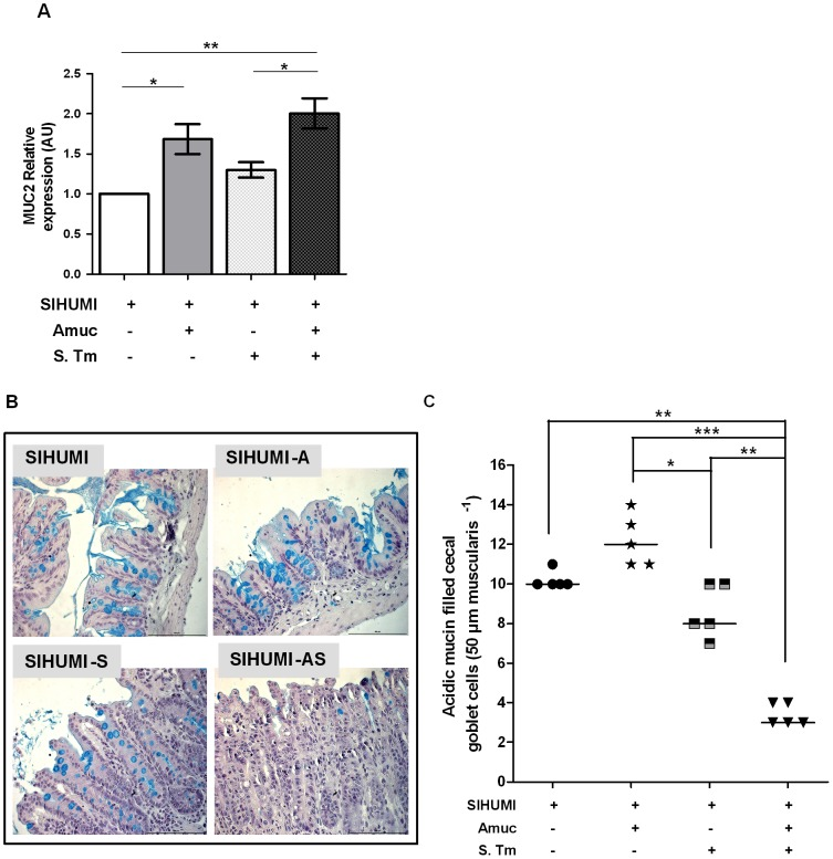 SIHUMI mice with both A. muciniphila and S. Typhimurium display increased MUC2 mRNA levels (A) and reduced numbers of mucin filled goblet cells (B and C). (A) mRNA was extracted from cecum mucosa of mice belonging to either one of four groups: SIHUMI, SIHUMI-A, SIHUMI-S and SIHUMI-AS. MUC2 mRNA from cecum mucosa was converted to cDNA and expression levels were quantified using real-time PCR (see materials and methods). SIHUMI-A and SIHUMI-AS mice showed significantly higher MUC2 gene expression compared to the other two groups, harboring no A. muciniphila . Data are expressed as mean±standard error. n = 6 per group. *P