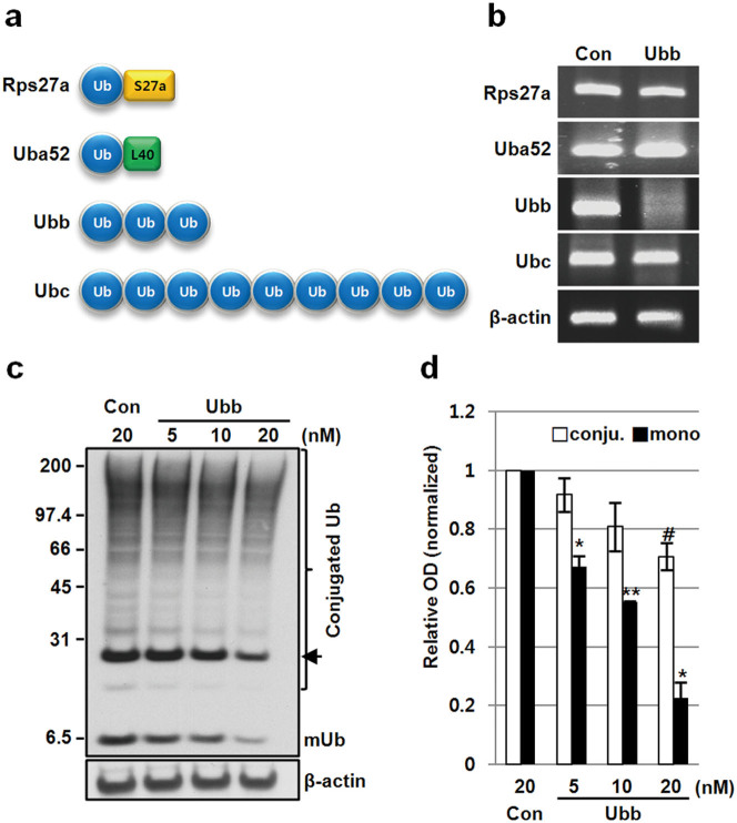 Ub levels are downregulated by the knockdown of Ubb mRNA with siRNA. (a) Schematic representation of the 4 Ub genes; Rps27a and Uba52 encode Ub as a fusion protein with the ribosomal subunits S27a and L40, respectively, whereas Ubb and Ubc encode tandem units of Ub with 3 and 9 repeats, respectively. All Ub gene products are known to be processed co-translationally. (b) SH-SY5Y neuroblastoma cells were transfected with 20 nM control siRNA or Ubb siRNA for 48 h, and the mRNA level of each Ub gene was analyzed by PCR. Ubb siRNA effectively and specifically depleted Ubb mRNA. β-actin mRNA was used as a control. (c) SH-SY5Y cells were transfected with different concentrations of Ubb siRNA (5, 10, and 20 nM) for 48 h, and the Ub level was analyzed by Western blotting following SDS-PAGE of whole protein extracts. A mono-Ub (mUb) can be resolved from conjugated Ubs appeared as smear and several discrete bands including ubiquitinated histone (arrow). (d) The amounts of mono-Ub and conjugated Ub were independently compared by densitometry (n = 2). Both decreased in a dose-dependent manner, but the downregulation of mono-Ub was particularly noticeable. The data are shown as the mean ± SD, #, p