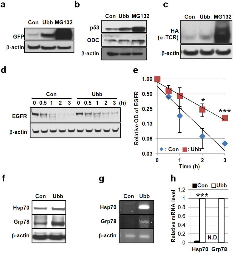 Ubb -KD stabilizes ubiquitination-dependent substrates and induces the expression of stress proteins. (a) SH-SY5Y cells stably expressing GFPu were transfected with 20 nM control or Ubb siRNA for 48 h and then the level of GFPu was assessed by Western blot using anti-GFP antibody. β-actin was used as a control. (b) The levels of p53, ODC, and β-actin were compared in HepG2 cells transfected with 20 nM control or Ubb siRNA for 48 h. (c) HeLa cells stably expressing αTCR were transfected with 20 nM control or Ubb siRNA for 72 h, and the level of αTCR was compared by Western blotting with an anti-HA antibody. MG132 (10 μM) was treated for 24 h as positive control in (a), (b), and (c). (d) HeLa cells were transfected with control siRNA or Ubb siRNA (20 nM) for 48 h and then treated with EGF (100 ng/ml). The cells were harvested at the indicated times (0 h, 0.5 h, 1 h, 2 h, and 3 h), and the level of EGFR was compared by Western blot. (e) Graph showing optical densities of EGFR from the immunoblot in (d). Values were normalized by β-actin. (f) HeLa cells were transfected with control siRNA or Ubb siRNA (20 nM) for 72 h, and the levels of HSP70, GRP78, and β-actin were compared by Western blot. (g and h) Total RNA was isolated from siRNA-transfected HeLa cells after 48 h, and the levels of HSP70 and GRP78 mRNA were compared by PCR (g) and real-time PCR, values were normalized by β-actin mRNA (h). The data are shown as the mean ± SD (n = 2), *, p