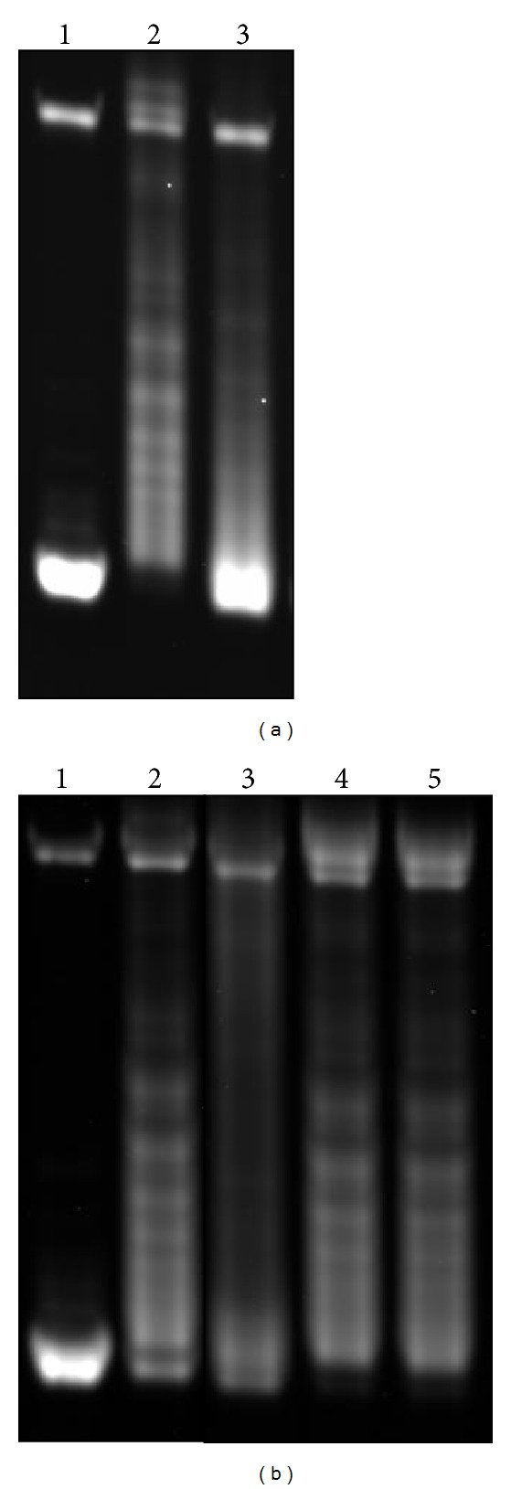R-loop formation on pSK-(AGGAG) 22 and effects of RNase T1 on the formation. A plasmid containing a (AGGAG) 22 repeat was transcribed with T7 RNA polymerase and the effects on the topology of the plasmid were examined by agarose gel electrophoresis. (a) Lane 1: mock transcribed; lane 2: transcribed with T7 RNA polymerase; lane 3: transcribed with T3 RNA polymerase. (b) lane 1: mock transcribed, lane 2: transcribed with T7 RNA polymerase, Lane 3: transcribed with T7 RNA polymerase in the presence of 3 units of RNase T1; lane 4: transcribed with T7 RNA polymerase and ethanol-precipitated; and lane 5: transcribed with T7 RNA polymerase, ethanol-precipitated, and then incubated with 3 units of RNase T1.
