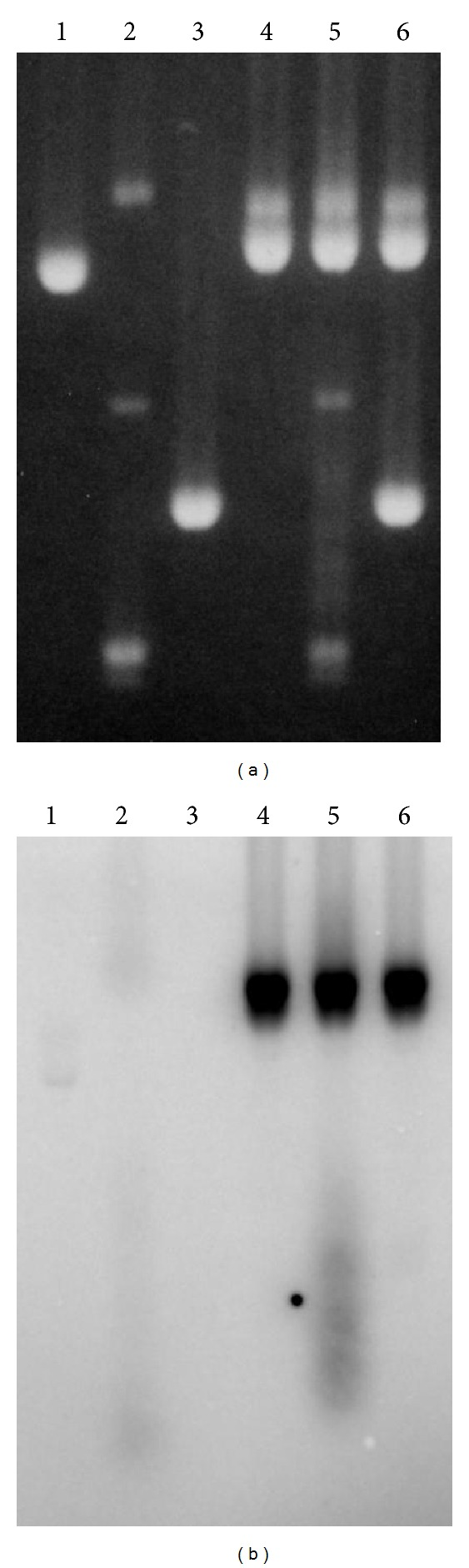 R-loop formation in trans detected by radiolabeling of the transcript. (a) Agarose gel stained with ethidium bromide and (b) autoradiogram of the same gel. Lane 1: pBluescript SK(−) linearized with Xba I; lane 2: supercoiled pHC624-(AGGAG) 22 ; lane 3: pHC624-(AGGAG) 22 linearized with Sca I; lane 4: pSK-(AGGAG) 22 linearized with Xba I; lane 5: linearized pSK-(AGGAG) 22 and supercoiled pHC624-(AGGAG) 22 ; and lane 6: linearized pSK-(AGGAG) 22 and linearized pHC624-(AGGAG) 22 . All DNAs were incubated in the transcription mixture with T7 RNA polymerase.